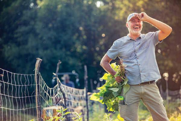 Smiling Mature Man Harvesting Organic Homegrown Runner Bean.